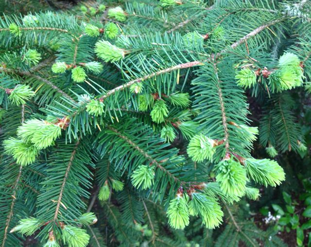 doug fir tips