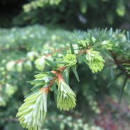 Fir, Hemlock and Spruce Tips