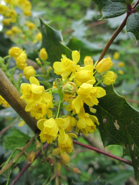 Oregon grape wildfoodsandmedicines mightylinksfo