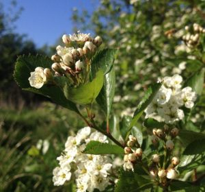Native Hawthorn Flowers and Leaves
