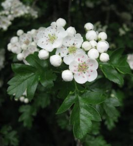 European Hawthorn Leaf and Flower